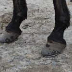 Reason For Getting Horseshoes for Your Equine Buddy